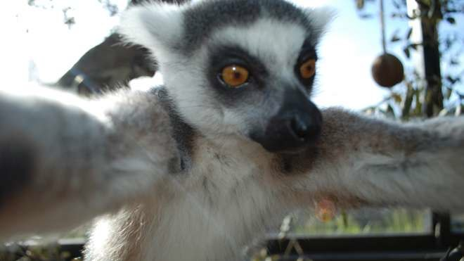 Lemur-Snaps-a-Selfie-full-ZSL-London-Zoo-4