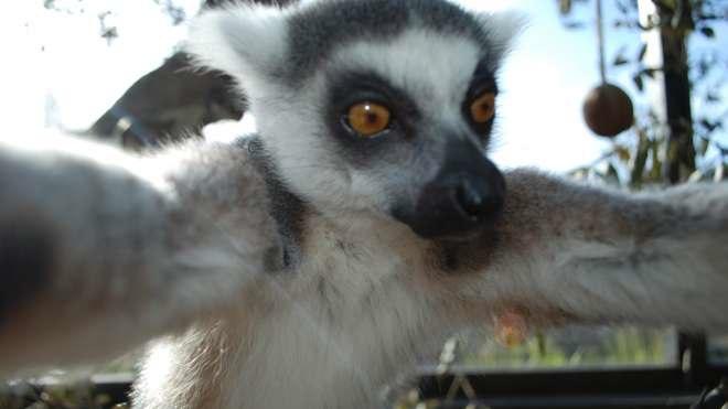 Lemur-Snaps-a-Selfie-full-ZSL-London-Zoo-4