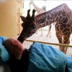 giraffe kisses dying zooworker