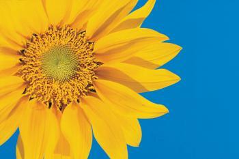 sun_sunflower