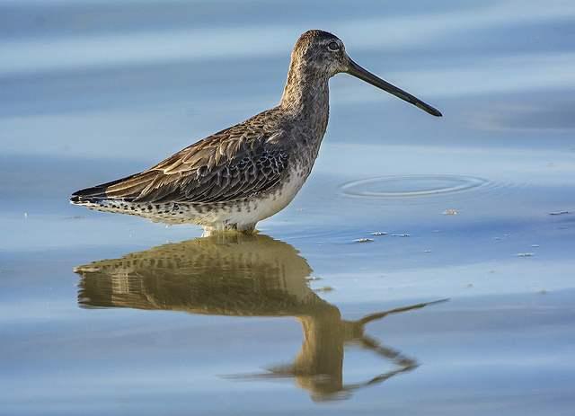 bird_shore_Greater_Yellowlegs-Flickr-Bill_Gracey
