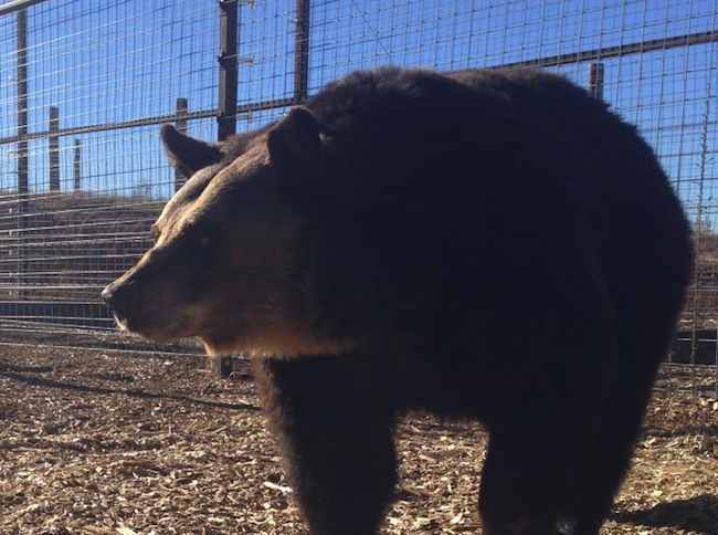 brown_bear_PETA_rescued_released_from_cage