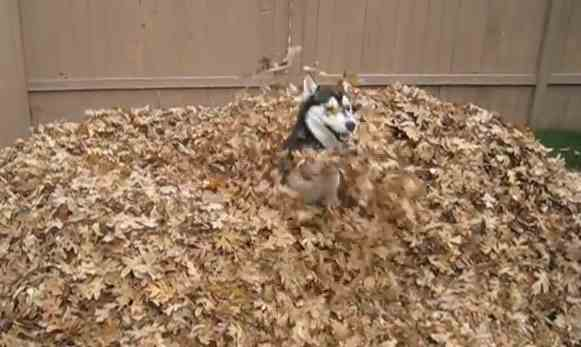 dog_husky-in_autumn_leaves-youtube