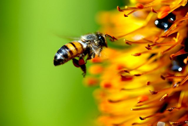 honeybee_Danny_Perez_Photography-Flickr-CC-640px