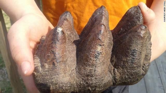 mastodon_tooth_fossil_Heidi_Stoll-family