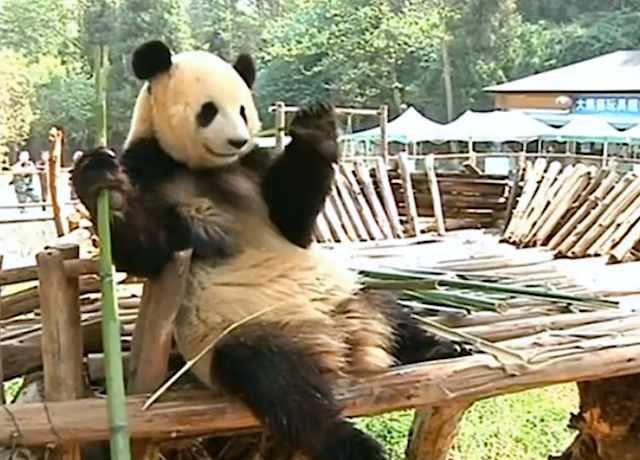panda plays