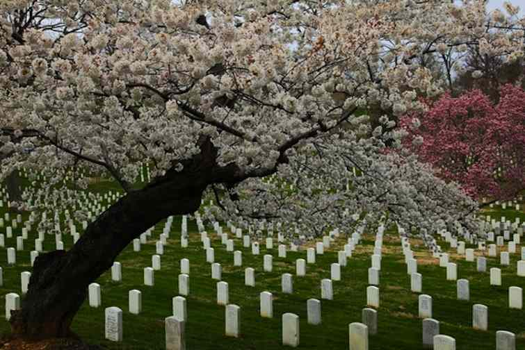 Flowering trees in Arlington National Cemetary by www.ForestWander.com (CC license)