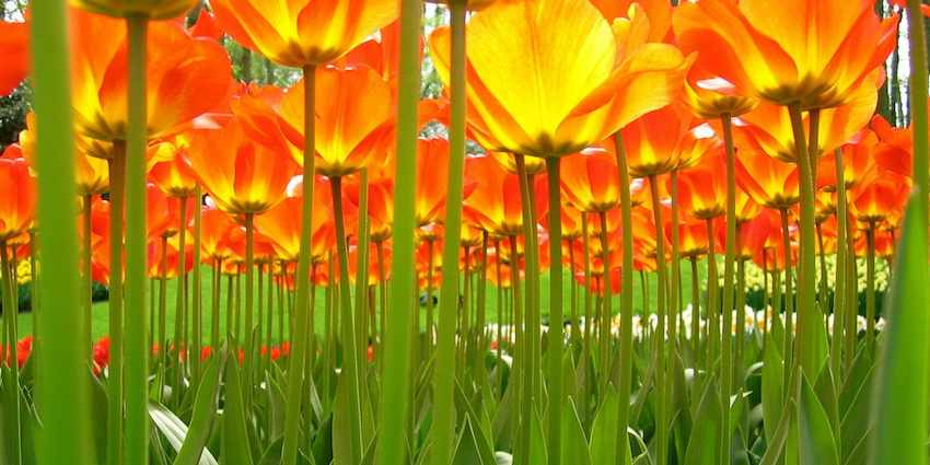 Under-the-tulips-flickr-cc-♥siebe©
