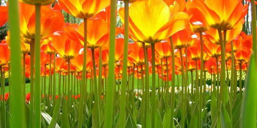 Under-the-tulips-flickr-cc-♥siebe©