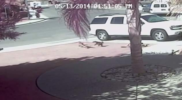 Cat Chases Dog Attacking Boy