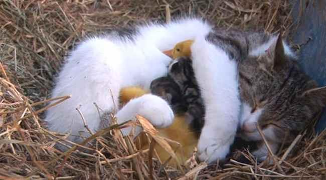 cat_nurses-ducklings