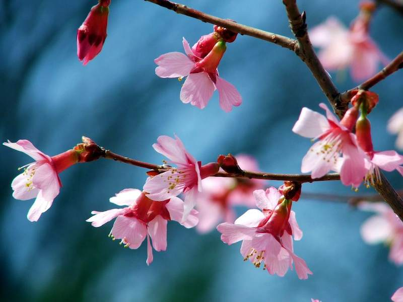 pink blossoms by Tim Hamilton
