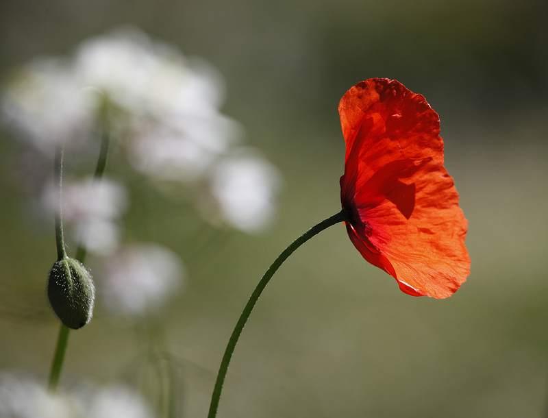 red-poppy-Jenny_Downing-CC-Flickr-POD-May7-14