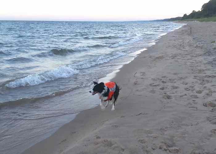 service-collie-on-beach-chases-gulls-Elizabeth_Alm-CC