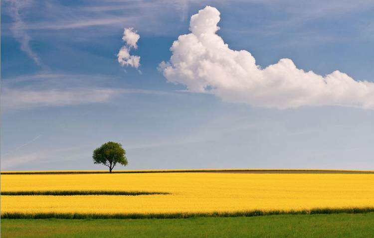 tree_with_rapeseed-skoeber-Flickr-cc