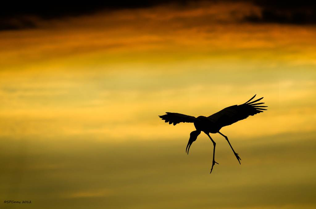 Wood-stork-sunset-cc-Steve_Corey