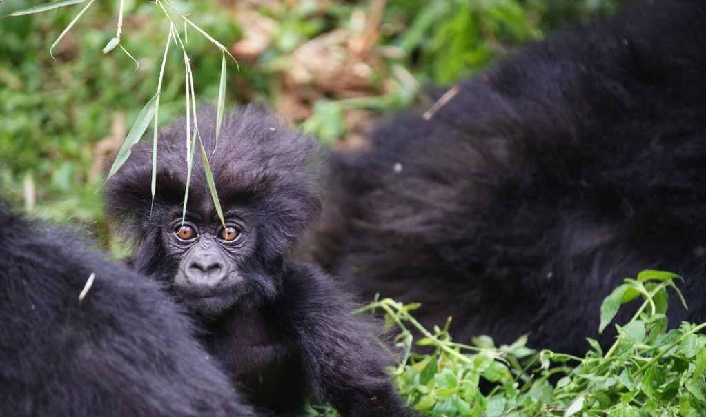baby-mountain-gorilla-Virunga-CC-Duplisea