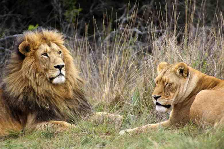 Lions, Krugersdorp game reserve