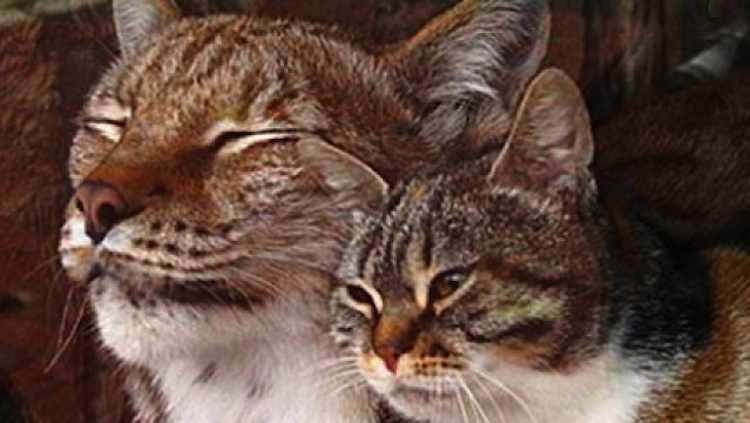lynx-and-house-cat-Russian-zoo-cu