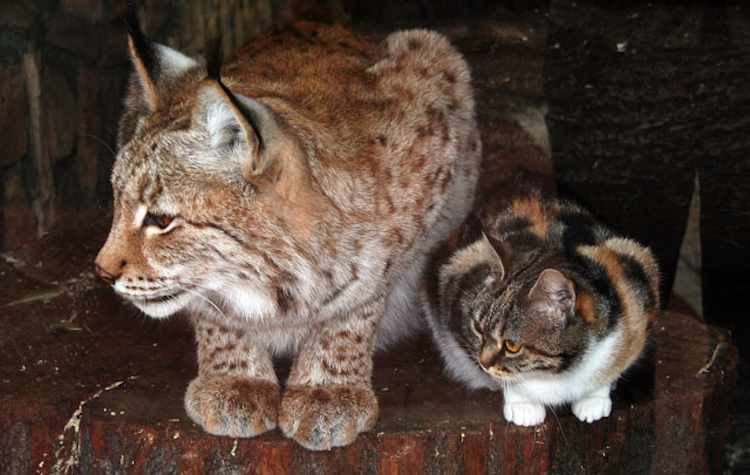 lynx-and-house-cat-Russian-zoo