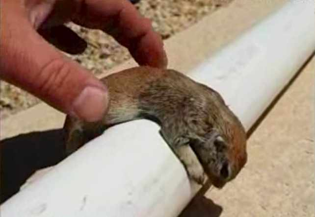 squirrel-cpr-Rick-Gruber-video