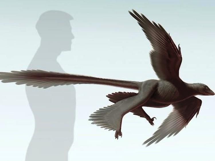 Changyuraptor-S-Abramowicz-Dinosaur_Institute-NHM