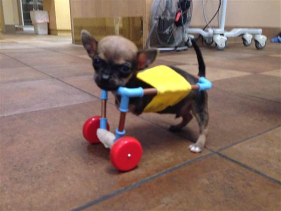Chihuahua-dog-gets-wheels_from-toys