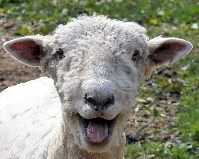 Happy-sheep-Bob_Jagendorf-CC-flickr-800px