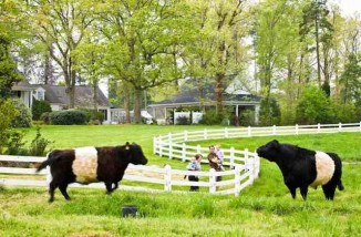 fearrington-belted-galloway-cow-with-family
