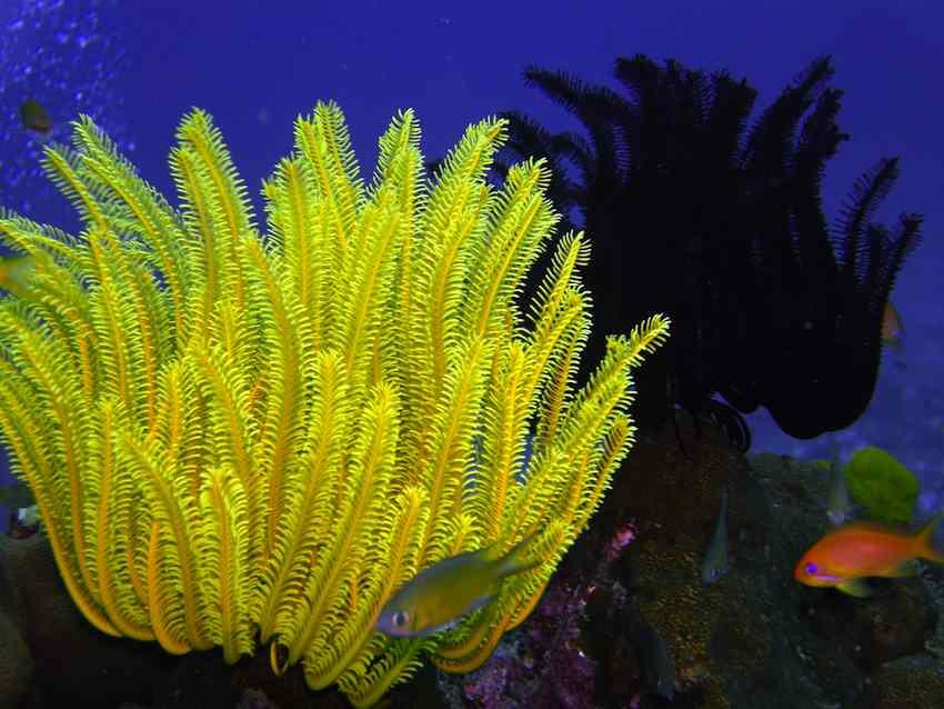 featherstar-marine-reef-CC-dachalan