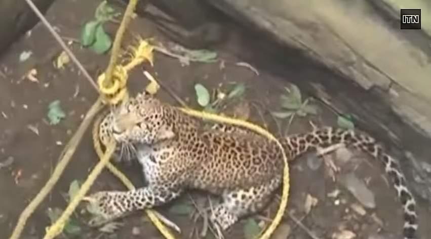 leopard-snare-rescue-ITVvideo