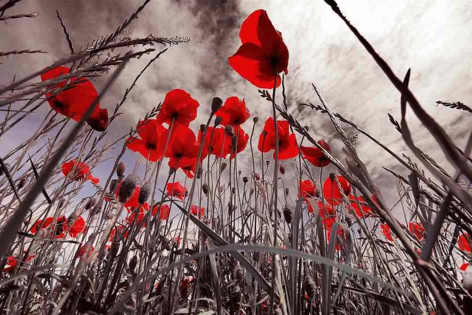 red-poppies-Rita_M-CC-flickr-950px