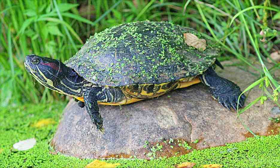 Turtle on rock with duckweed at Inniswood Metro Gardens in Westerville, Ohio by Lori Taggart