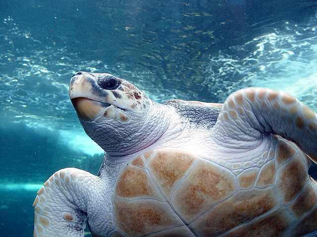 underwater-loggerhead-sea-turtle-CC-Damien_du_Toit