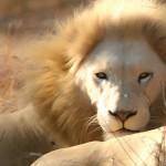 white-lions-DotOrg