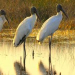 wood-storks-at-sunrise-Andrea_Westmoreland-CC