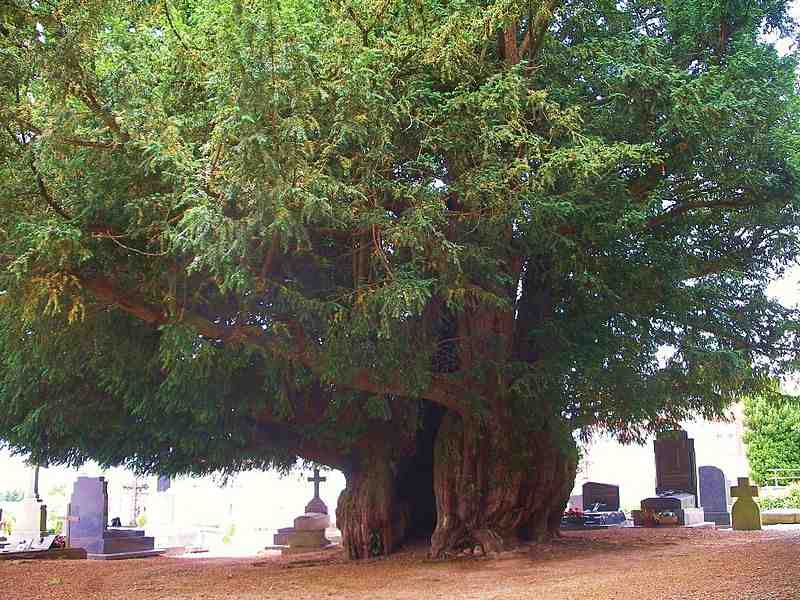 yew-tree-in-Normandy-1600yo-CC-Roi.dagobert