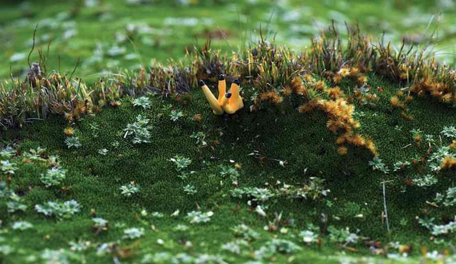 Blacktipped-goldinger-courtesy-Vera_Möller-TasmanianLandConservancy