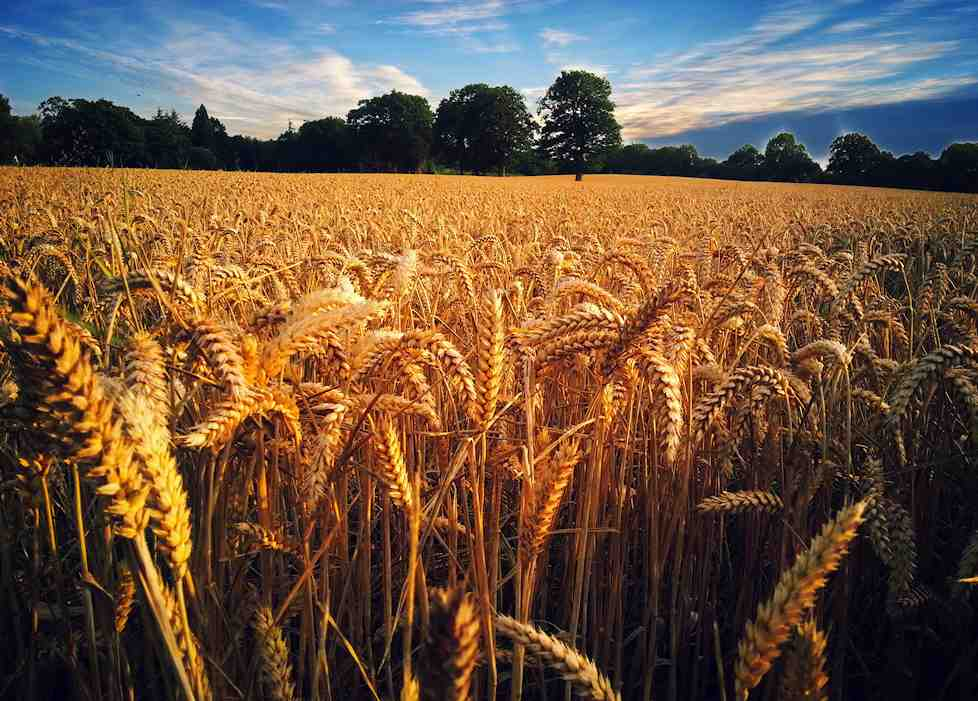 Field-of-Gold-wheat-farm-Sussex-Steve-Simons
