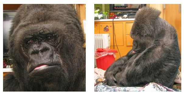 Koko-thoughtful-mourning-Gorilla_Foundation