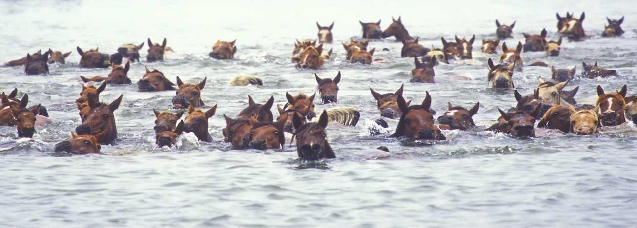 Annual Chincoteague Island Pony Swim