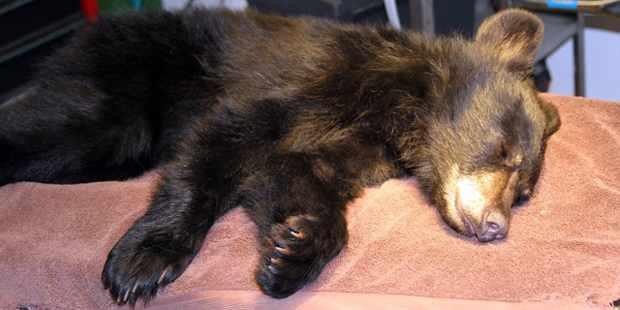 bear-cub-injured-SouthwestWildlifeConservationCenter
