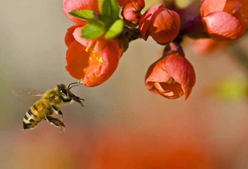 bee-with-orange-flowers-CC-wikipedia