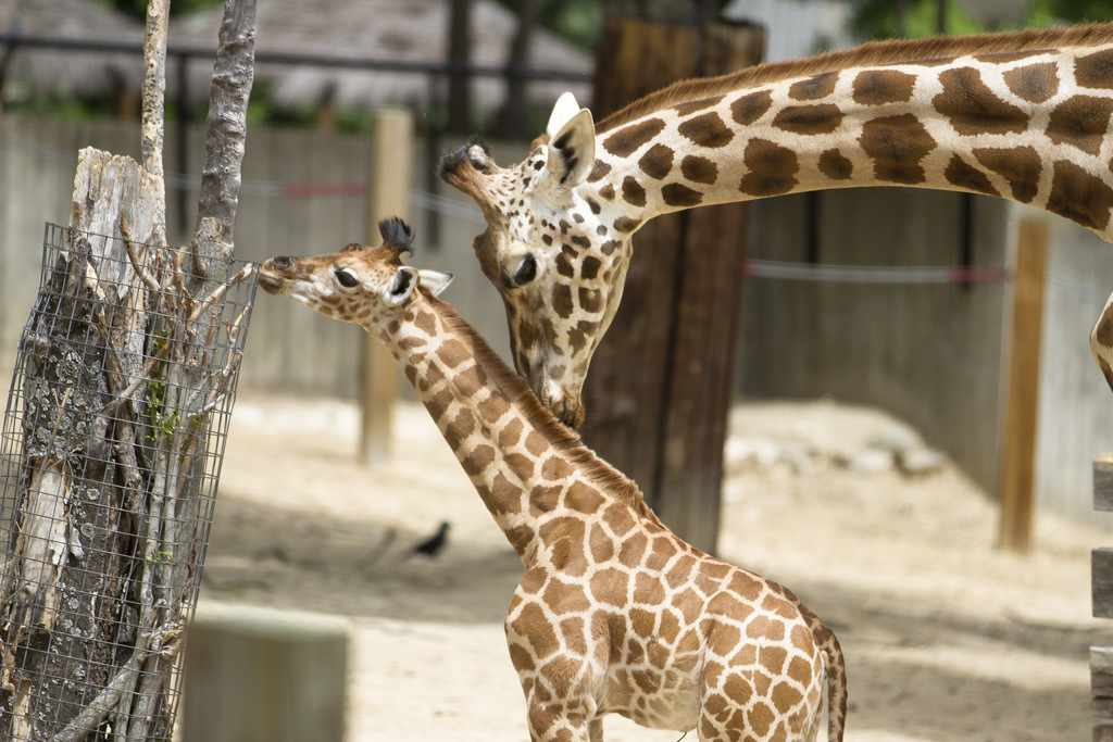 giraffe-with-baby-animals-cc-flickr-Nathan_Rupert