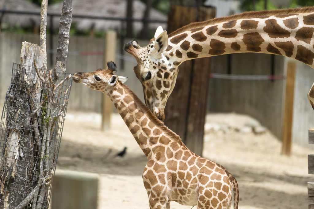 giraffe-with-baby-animals-cc-flickr-Nathan_Rupert
