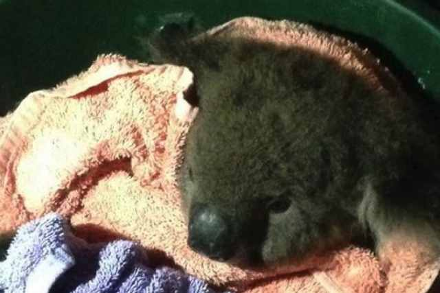 injured-koala-rescued-by-aussie-fire-depts