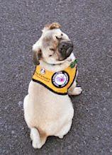 pug-service-dog-small