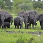 African-Elephant-herd-CC-VaughanLeiberum