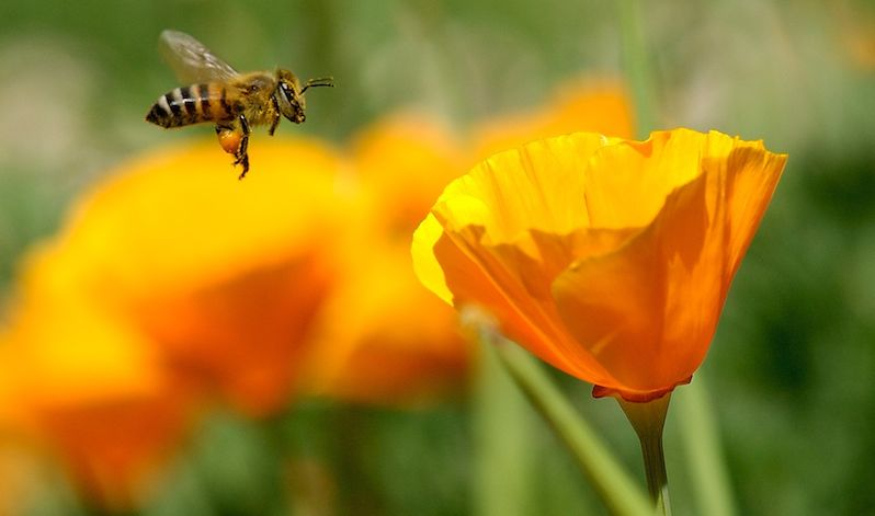 Bee-flying-flower-Danny_Perez_Photography