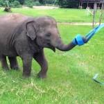 elephant-plays-with-ribbon-saveelephantDOTorg
